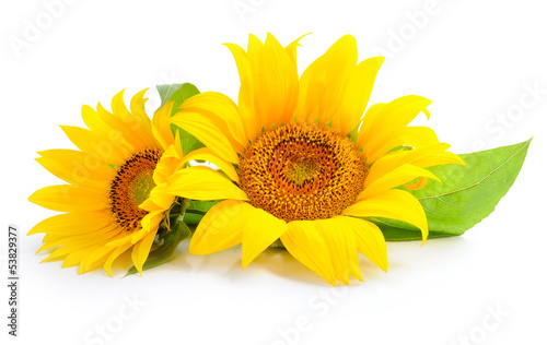 Poster de jardin Tournesol Sunflowers are on a white background