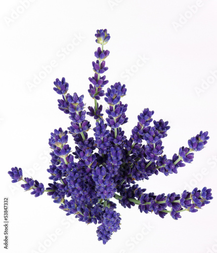 Canvas Prints Lavender lavande