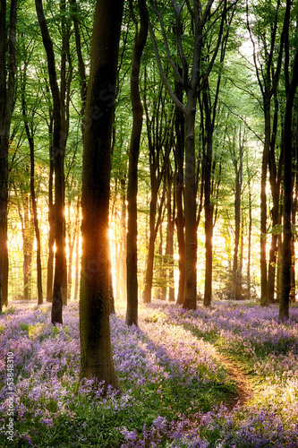 Bluebells in sunrise light #53848310