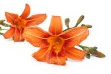 Two Beautiful Orange Lily Flow...