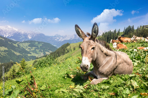 Donkey, cows and horses in the alps