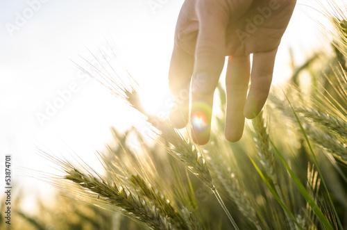 Canvas Prints Culture Farmer hand touching wheat ears