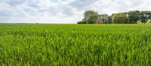 Ripening Wheat In A Rural Landscape
