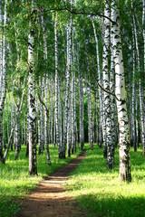 FototapetaEvening pathway in the summer birch grove
