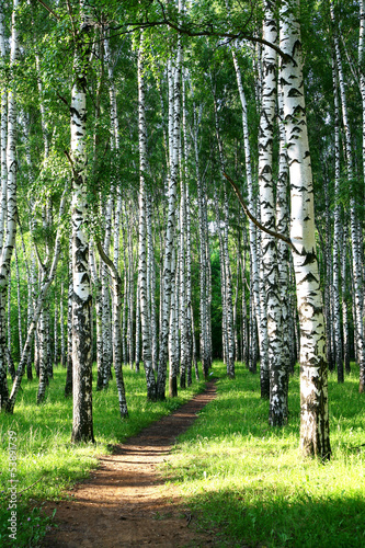 Evening pathway in the summer birch grove #53891739