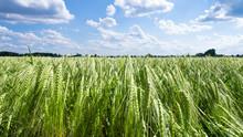 Ear Of Barley On Field