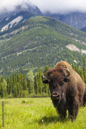 Foto op Canvas Bison American Bison or Buffalo