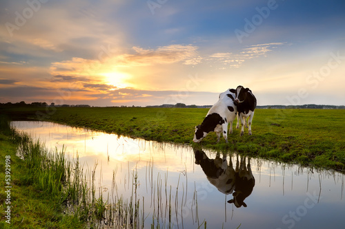 Photo Stands Cow two cows by river at sunset