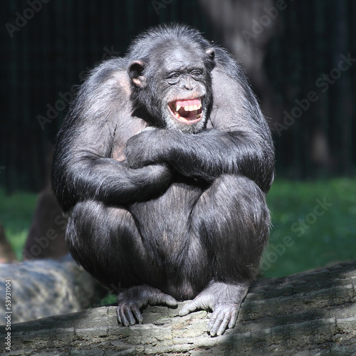 Fotografie, Obraz  Smiling happy Chimpanzee.
