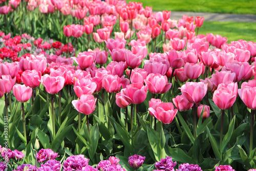 Photo  Holland tulip fields