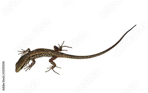 Photo  Podarcis muralis - Common European Wall Lizard isolated over whi