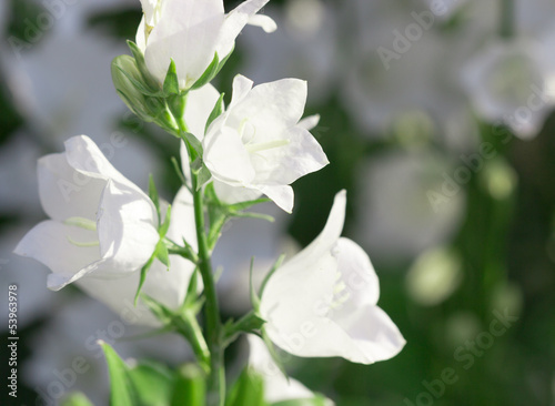White bellflowers buy this stock photo and explore similar images white bellflowers mightylinksfo
