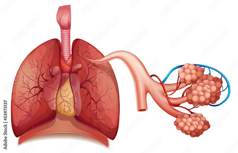 Fototapeta Respiratory System