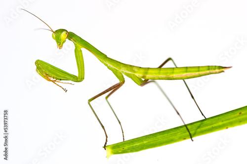 Fotografie, Obraz  Praying Mantis - Mantis religiosa
