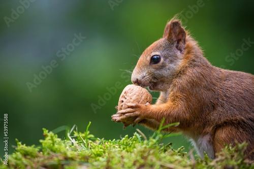 Foto op Canvas Eekhoorn squirrel eats a nut