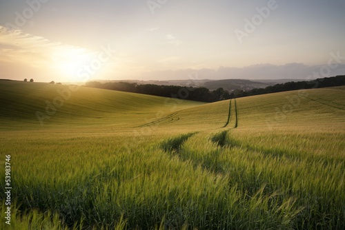Poster White Summer landscape image of wheat field at sunset with beautiful l