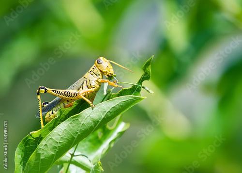 Obraz na plátne Grasshopper eating and destroying leaves