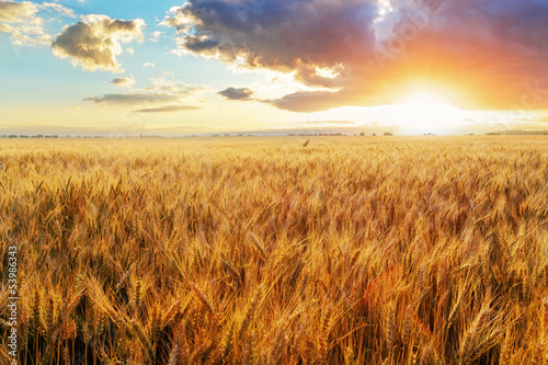 Canvas Prints Culture Sunset over wheat field