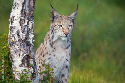 Proud lynx standing by a tree #53990515