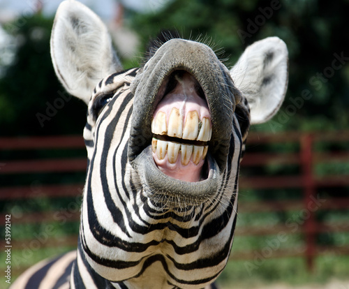 Montage in der Fensternische Zebra zebra smile and teeth
