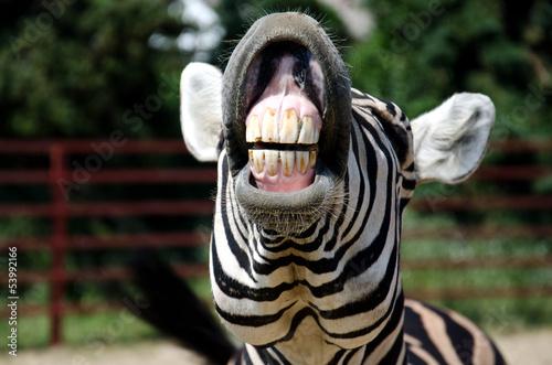 Poster Zebra Zebra smile and teeth