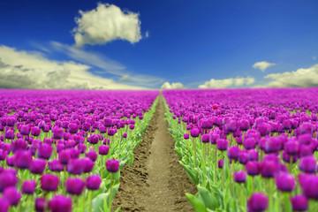 fototapeta pole wiosennych tulipanów
