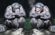 Leinwandbild Motiv Two chimpanzees have a fun.