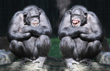 Fototapeta Animals - Two chimpanzees have a fun.