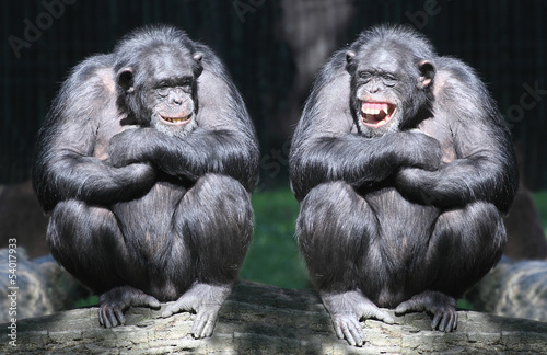 Photo  Two chimpanzees have a fun.