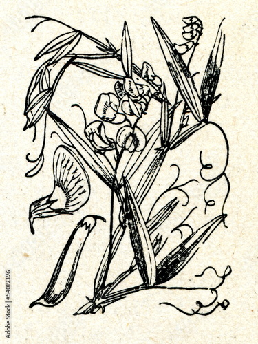 Fototapety, obrazy: Flat pea (Lathyrus sylvestris L.)