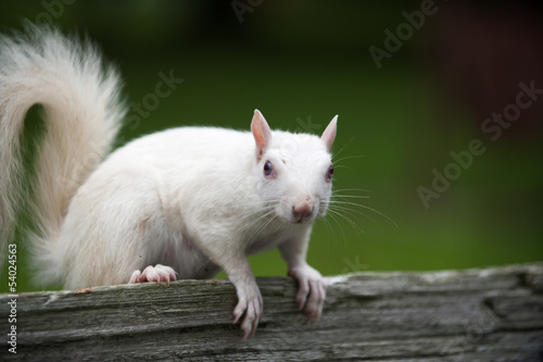 Fotografie, Obraz  White squirrel