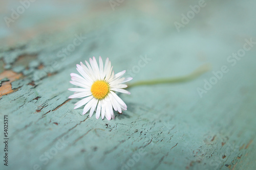 Foto op Canvas Madeliefjes White daisy close up