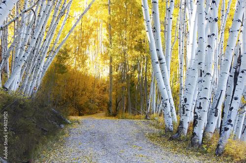 Aspen forest in a fall, Colorado