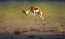 Running Springbok Jumping High
