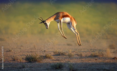 Tuinposter Antilope Running Springbok jumping high