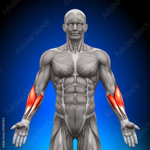 przedramiona-miesnie-anatomiczne