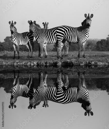In de dag Zebra Zebra with water reflection