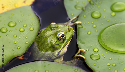 Aluminium Prints Water lilies Frog on lily pad