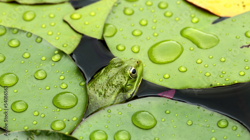 Poster de jardin Nénuphars Frog on lily pad