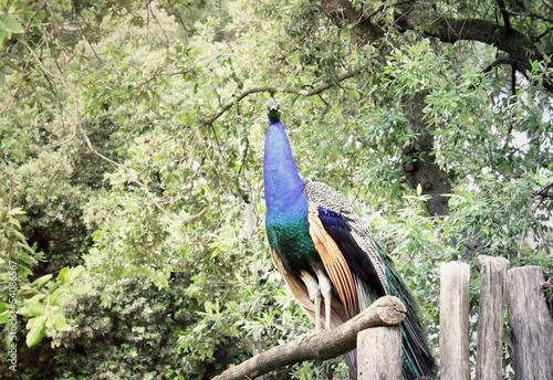 Photo  Male peacock