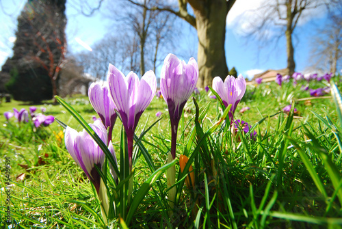 Foto op Canvas Krokussen Crocus flowers