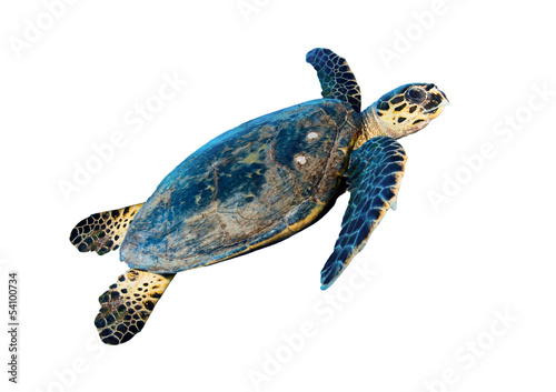 Poster Tortue Hawksbill sea turtle (Eretmochelys imbricata), on white.