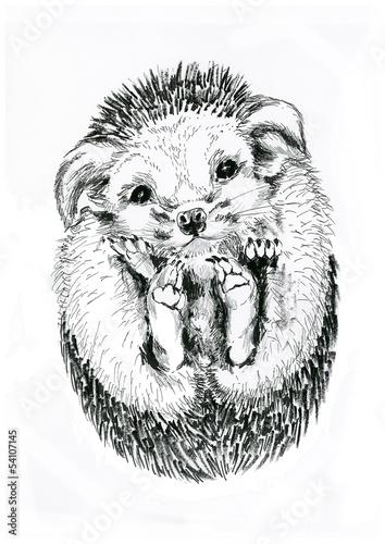 Poster Croquis dessinés à la main des animaux Ёж hedgehog isolated on white