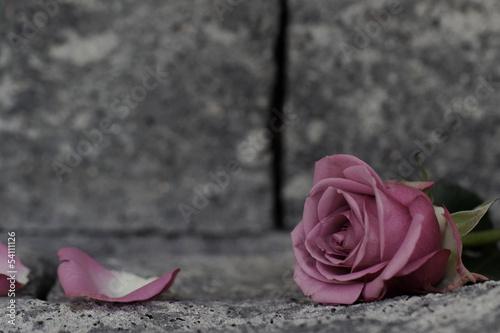 roza-na-scianie