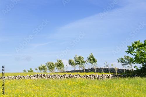 Stone boundry walls in field of buttercups. Wallpaper Mural