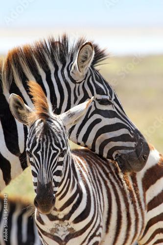 In de dag Zebra Baby zebra with mother