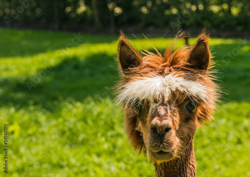 Spoed Foto op Canvas Lama Portrait of a cute young brown llama
