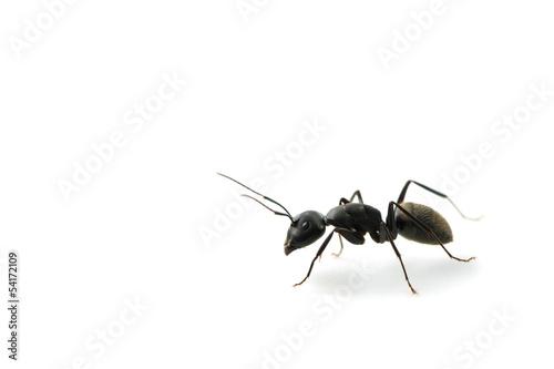 クロオオアリ-Camponotus japonicus Wallpaper Mural