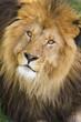 Male lions face