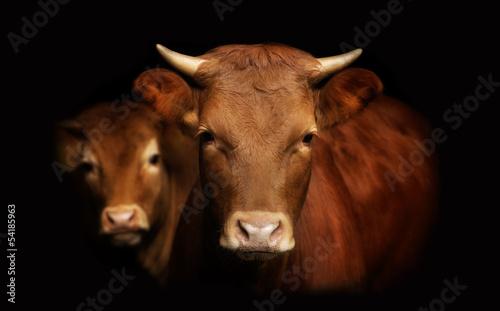 Spoed Foto op Canvas Koe portret krowa